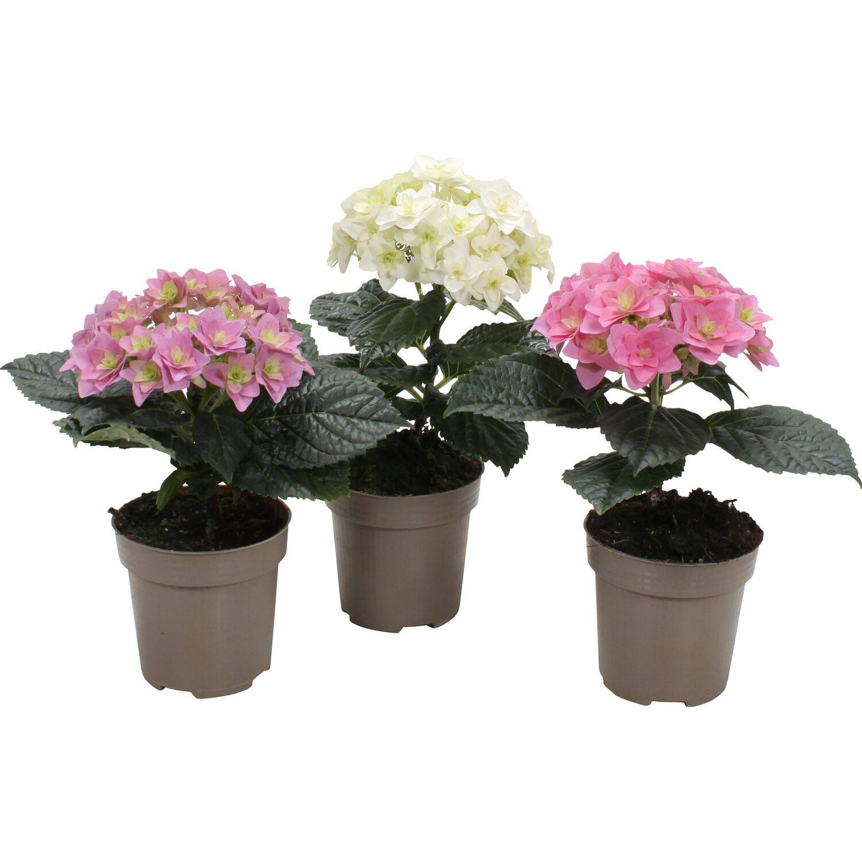 hortensie hy pe solomia double dutch topf ca 9 5 cm hydrangea macrophylla kaufen bei obi. Black Bedroom Furniture Sets. Home Design Ideas