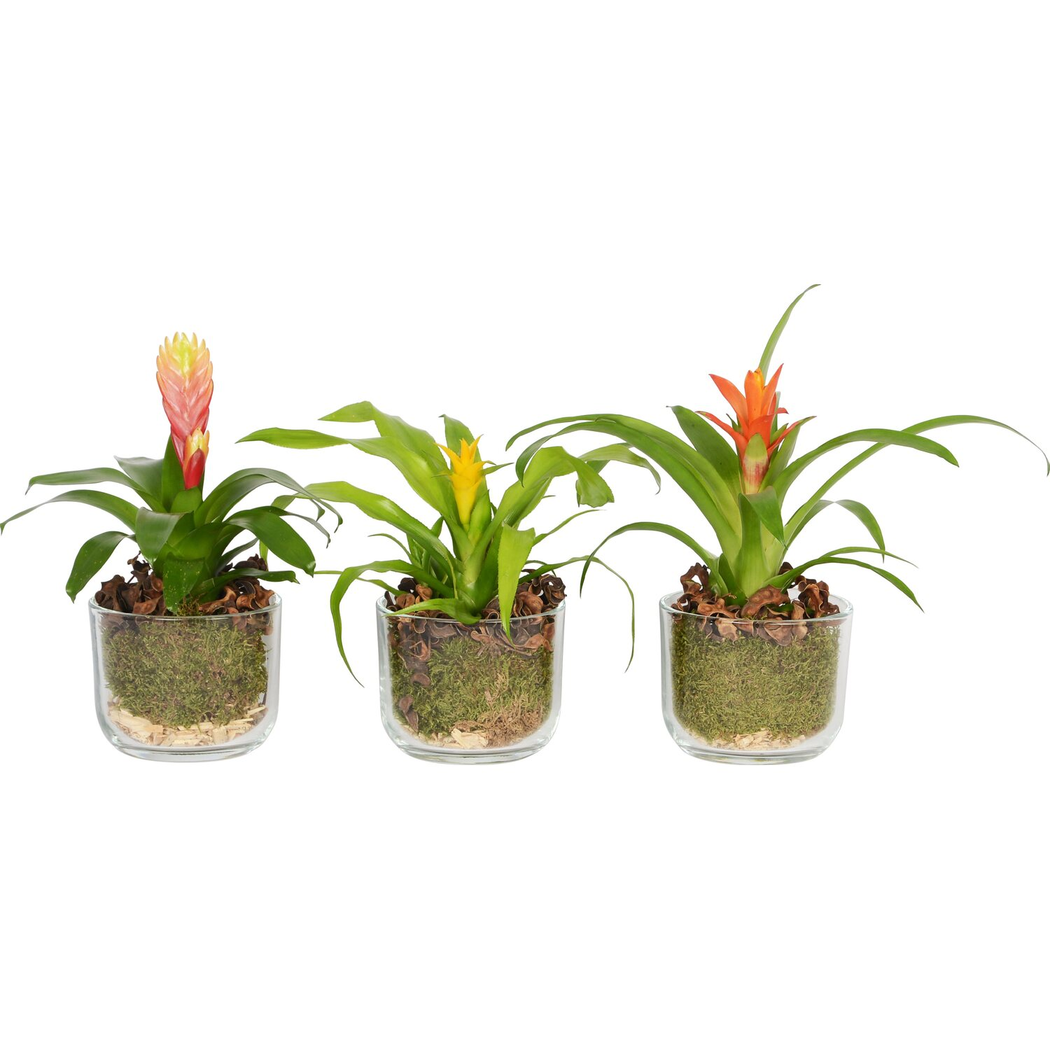 bromelien arrangement in glas gef topf ca 12 cm kaufen bei obi. Black Bedroom Furniture Sets. Home Design Ideas