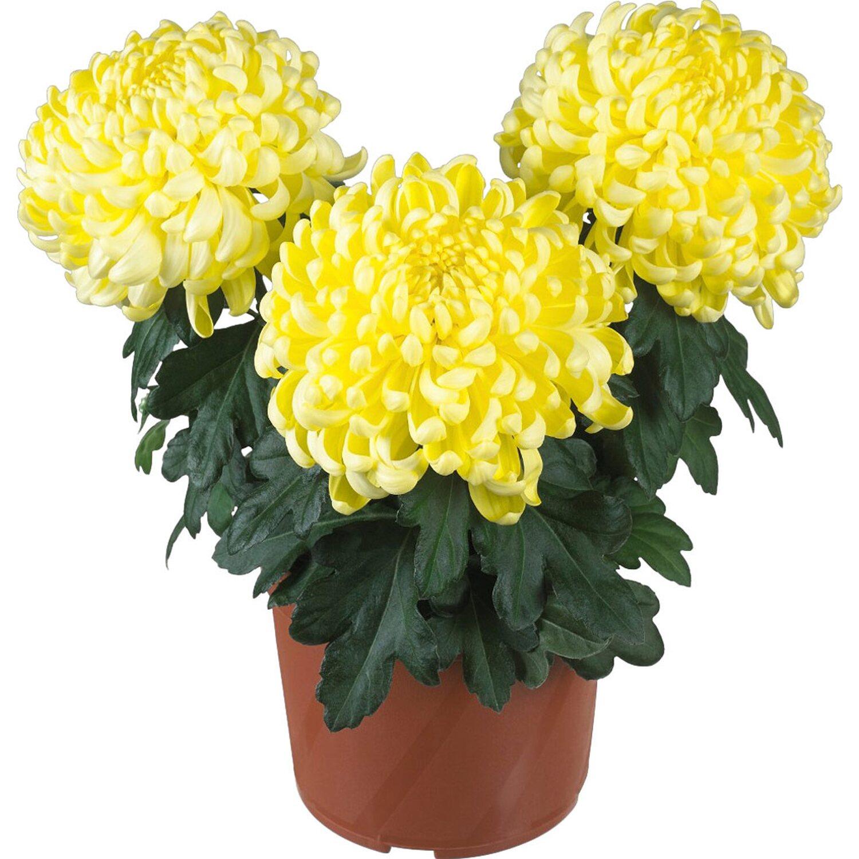 obi gelbe chrysantheme majstro topf ca 12 cm chrysanthemum kaufen bei obi. Black Bedroom Furniture Sets. Home Design Ideas
