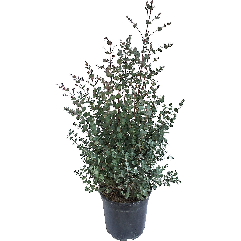 obi eukalyptus h he ca 30 cm topf ca 5 l eucalyptus. Black Bedroom Furniture Sets. Home Design Ideas