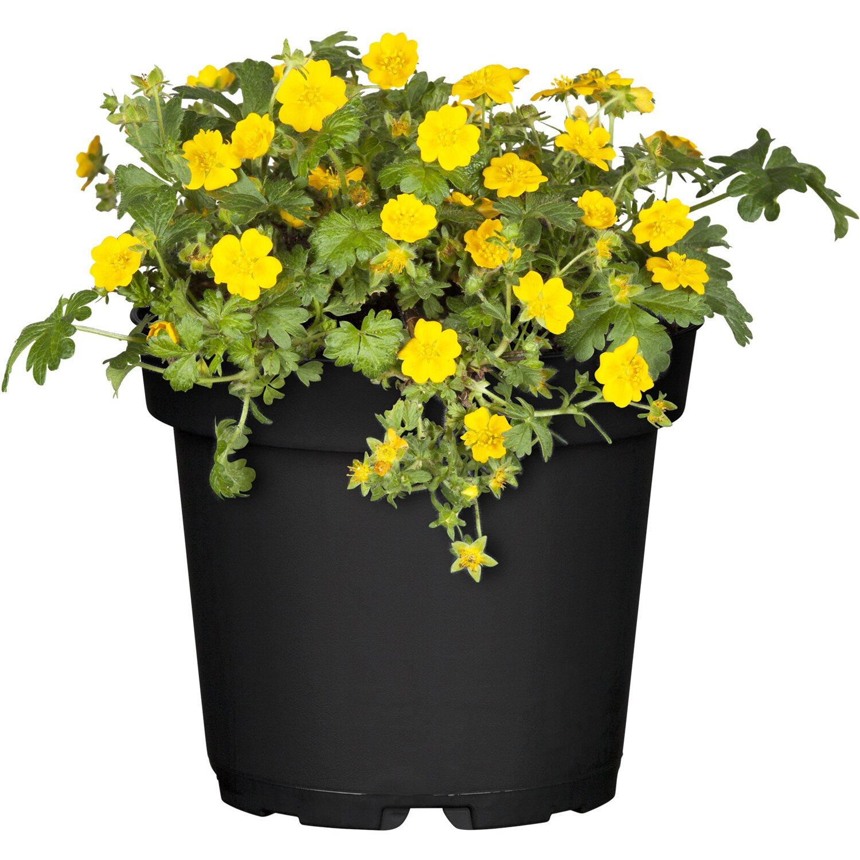 matten waldsteinie gelb topf ca 9 cm x 9 cm waldsteinia. Black Bedroom Furniture Sets. Home Design Ideas