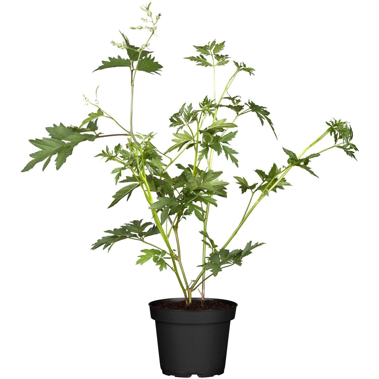 Brombeere Thornless Evergreen Schwarz Höhe ca. 20 - 30 cm Topf ca. 2 l Rubus