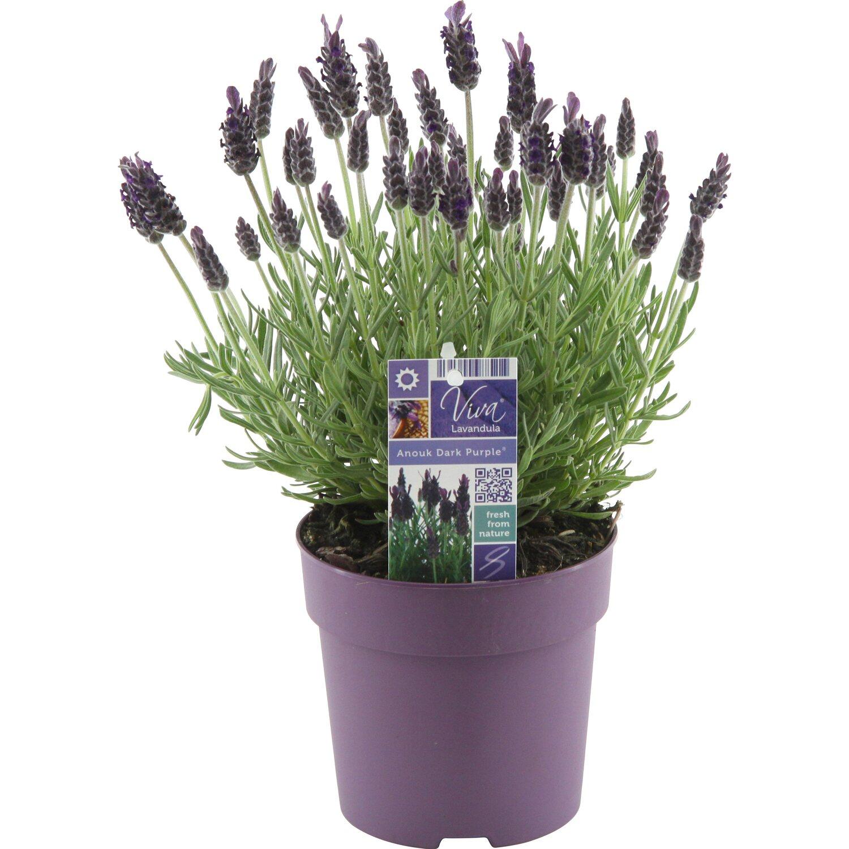 obi lavendel anouk topf ca 12 cm lavandula stoechas kaufen bei obi. Black Bedroom Furniture Sets. Home Design Ideas
