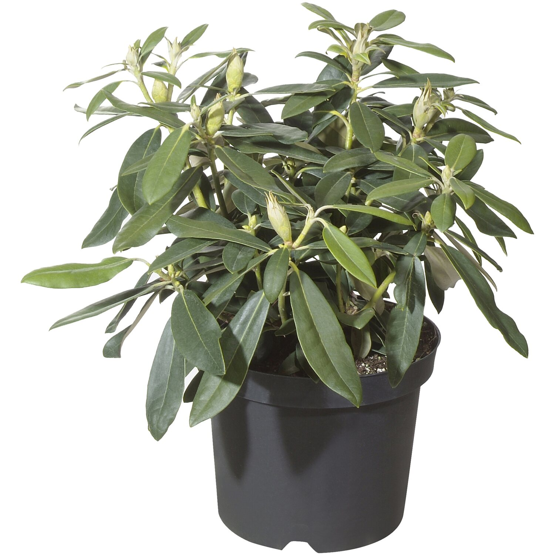 obi rhododendron brisanz rot h he ca 20 30 cm topf ca 4 l rhododendron kaufen bei obi. Black Bedroom Furniture Sets. Home Design Ideas