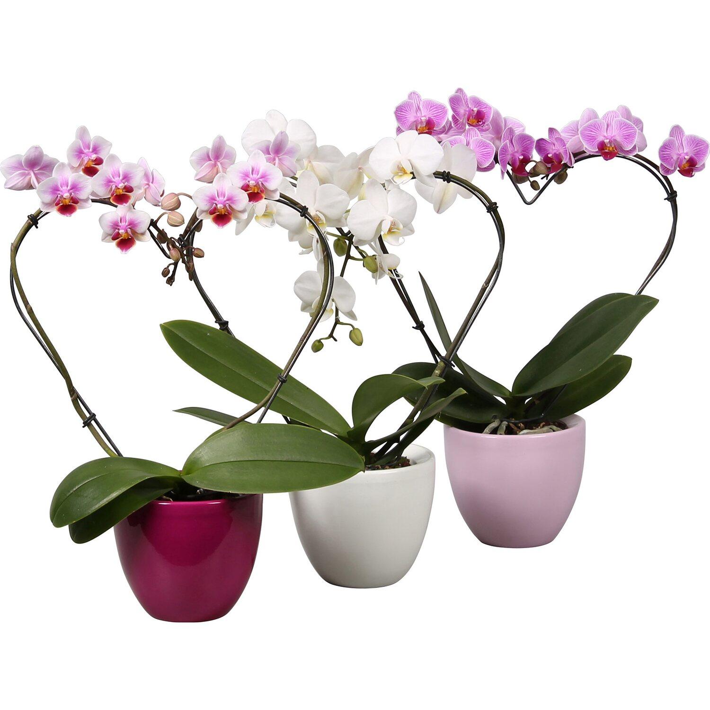 orchidee online kaufen bei obi. Black Bedroom Furniture Sets. Home Design Ideas