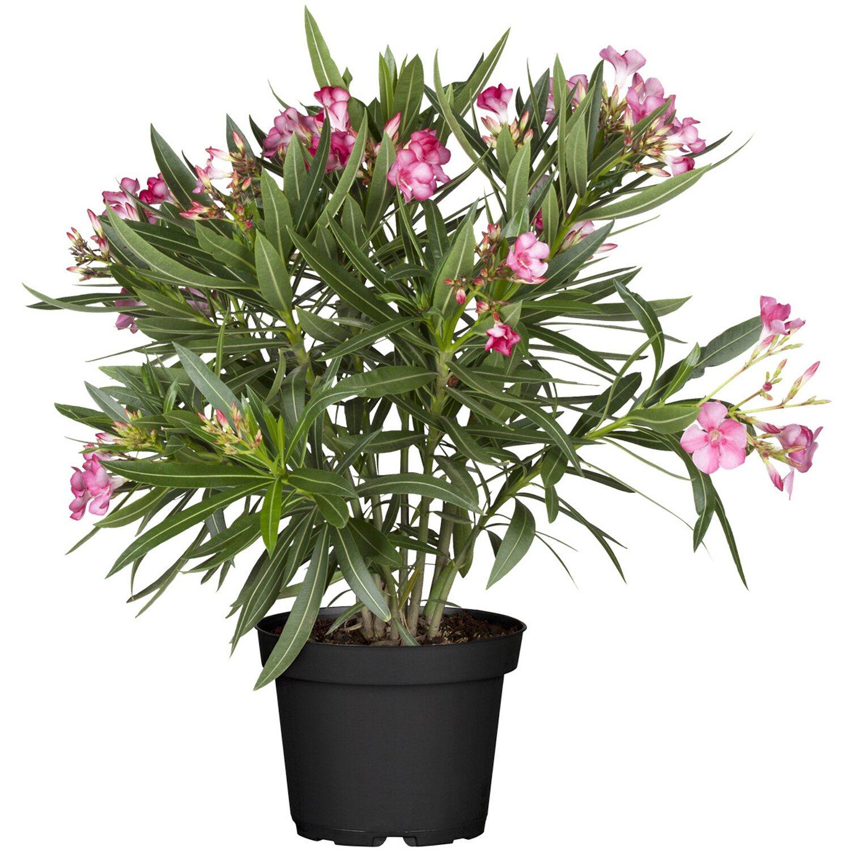 Oleander Standort Garten: Oleander Rosa Topf-Ø Ca. 20 Cm Nerium Kaufen Bei OBI