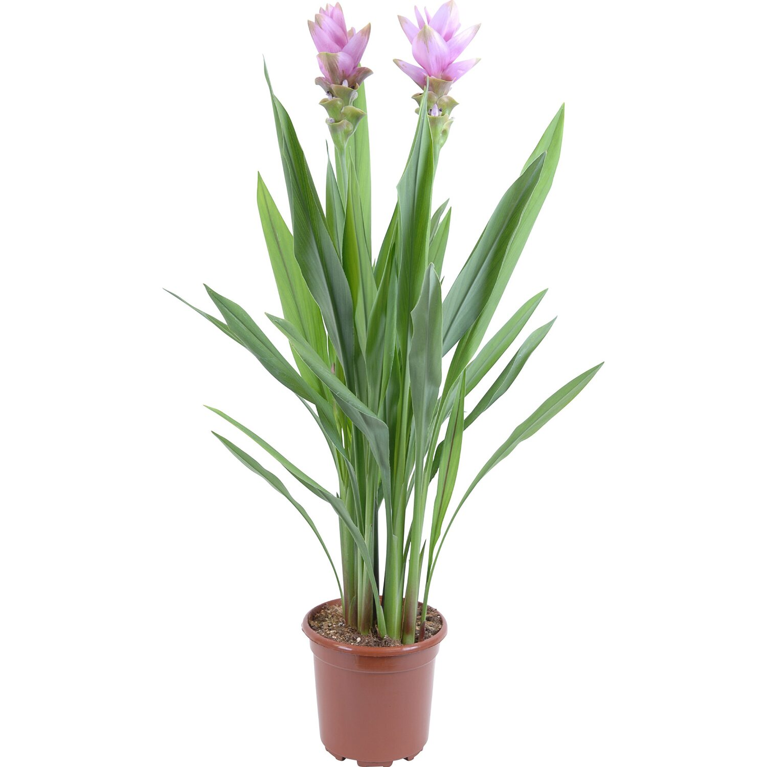 indische safranwurz curcuma alismatifolia topf ca 19 cm. Black Bedroom Furniture Sets. Home Design Ideas