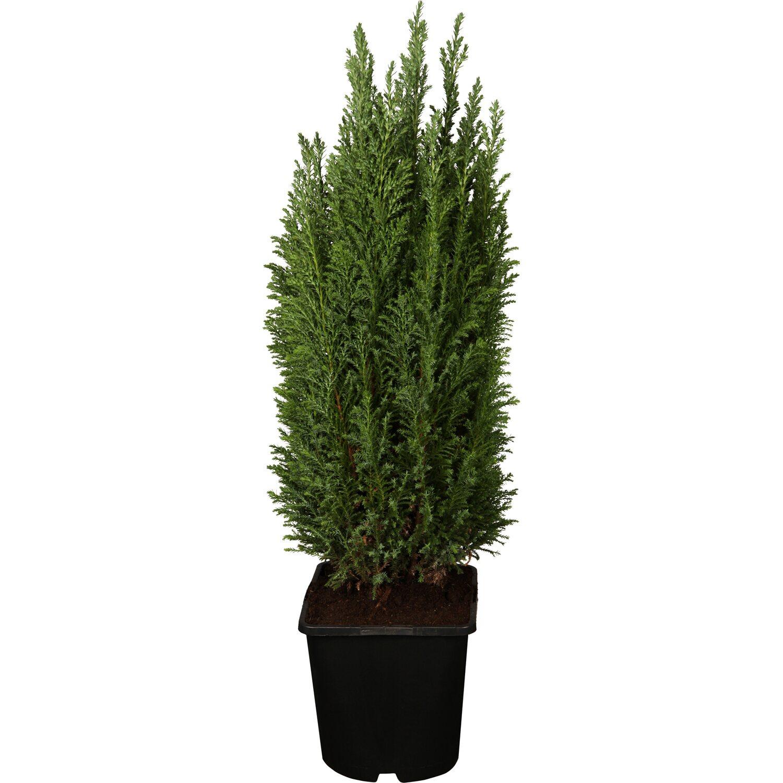 OBI Kegelzypresse Ellwoodii Silberblau Höhe ca. 10 - 20 cm Topf ca. 2 l