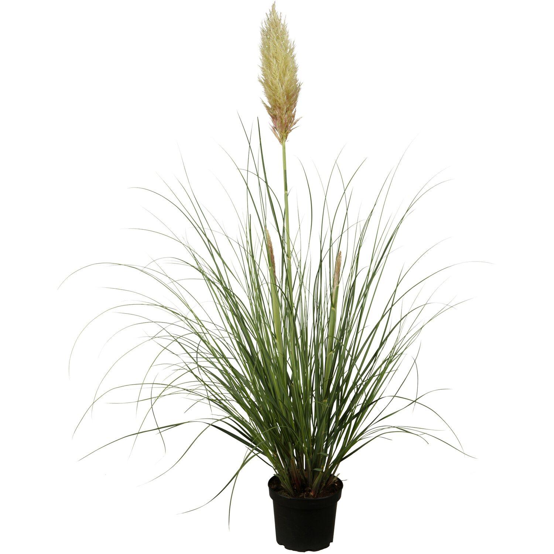 pampasgras topf ca 23 cm cortaderia kaufen bei obi. Black Bedroom Furniture Sets. Home Design Ideas