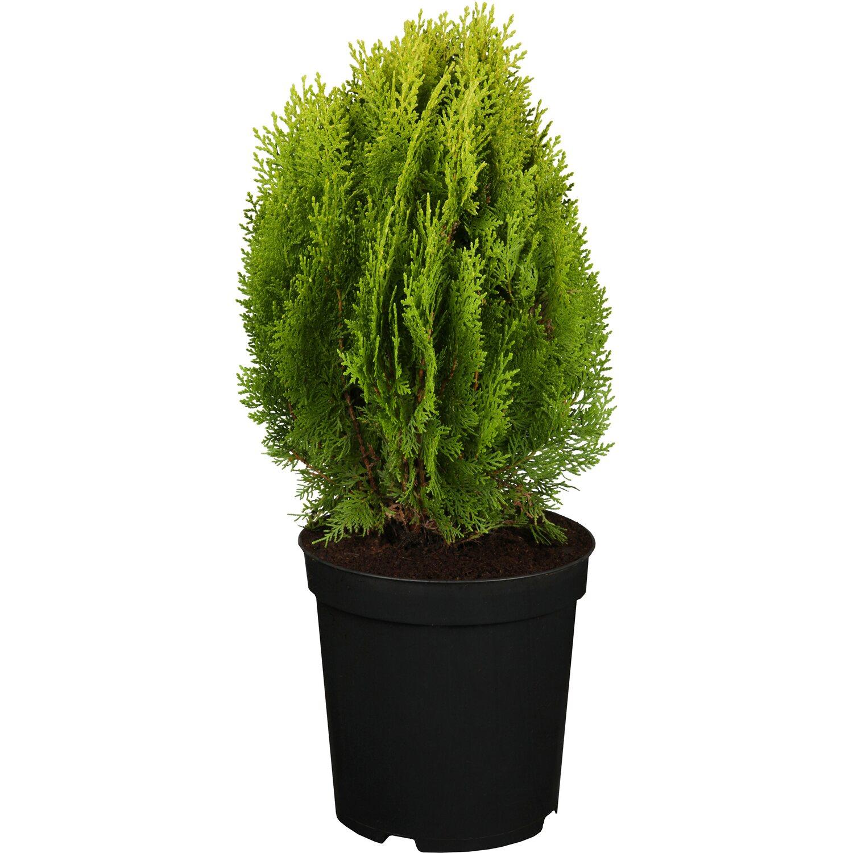 obi zwerglebensbaum aurea nana gelb h he ca 20 30 cm topf ca 5 l thuja kaufen bei obi. Black Bedroom Furniture Sets. Home Design Ideas