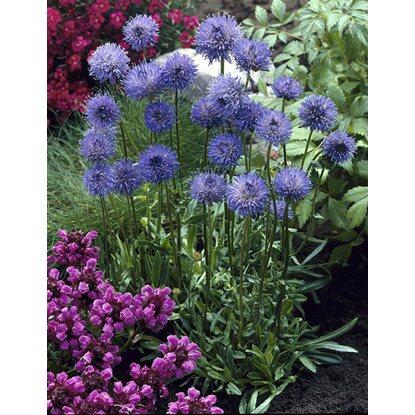 sandgl ckchen blau topf ca 9 cm x 9 cm jasione kaufen bei obi. Black Bedroom Furniture Sets. Home Design Ideas