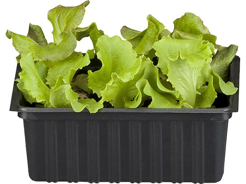 gemüsepflanzen online