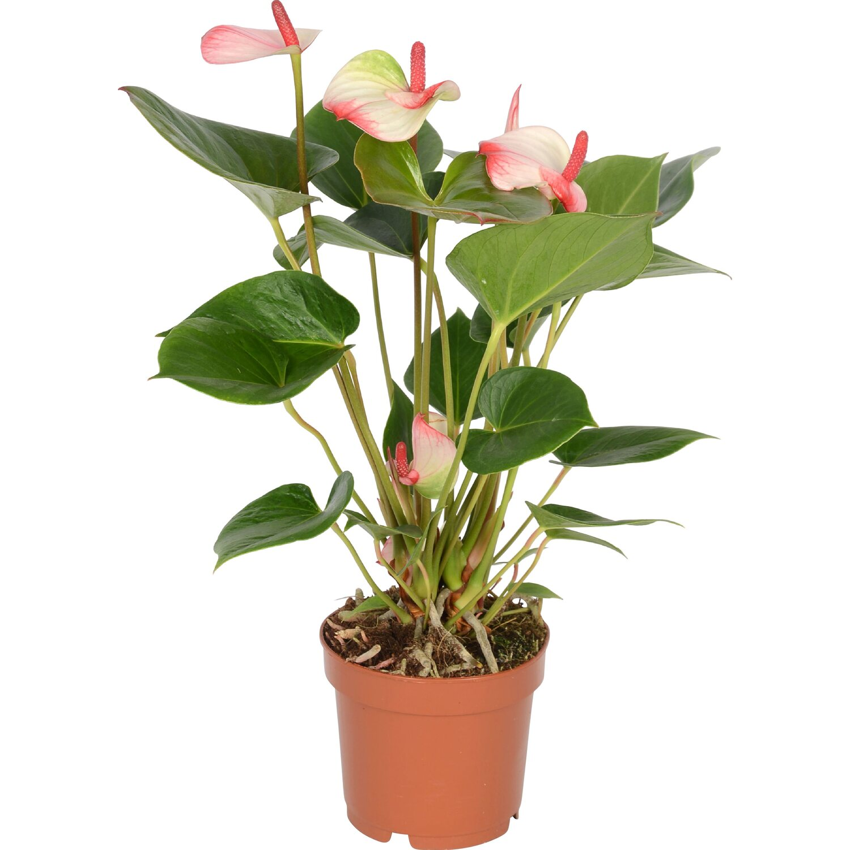 anthurie amalia elegance wei rosa topf ca 12 cm anthurium andreanum kaufen bei obi. Black Bedroom Furniture Sets. Home Design Ideas