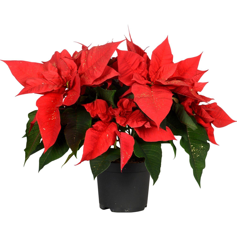 weihnachtsstern rot mit goldglitter topf ca 13 cm. Black Bedroom Furniture Sets. Home Design Ideas
