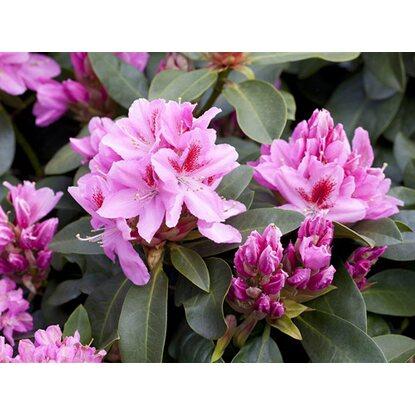rhododendron hybride rosa h he ca 40 50 cm topf ca 7 l rhododendron kaufen bei obi. Black Bedroom Furniture Sets. Home Design Ideas