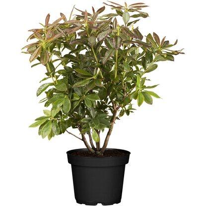 obi sommergr ne azalee balzac orangerot h he ca 20 30 cm topf ca 5 l azalea kaufen bei obi. Black Bedroom Furniture Sets. Home Design Ideas