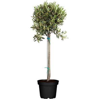 Geliebte Olivenbaum Stamm Topf-Ø ca. 24 cm Olea kaufen bei OBI @JC_05