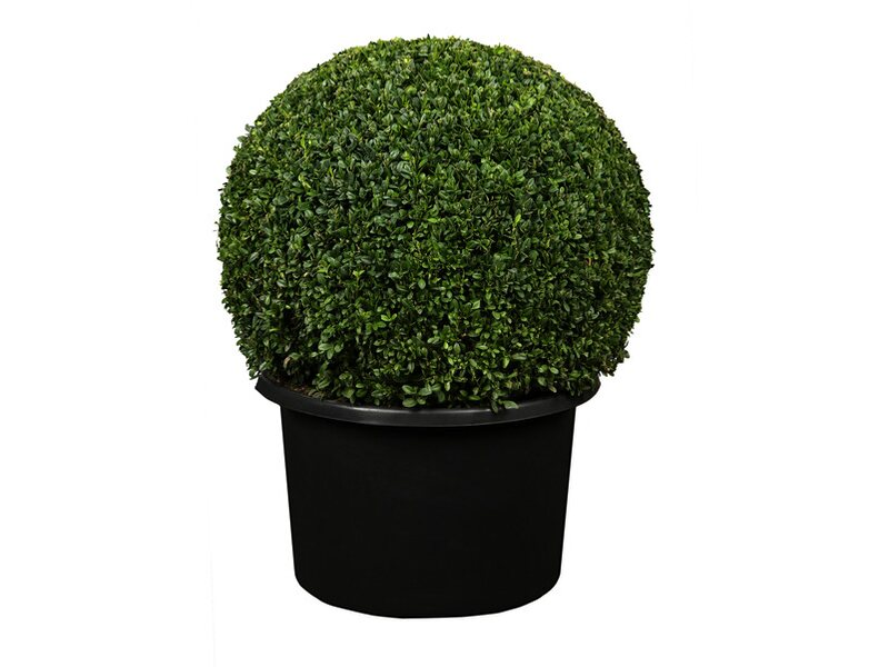 buchsbaum kugel kaufen bei obi. Black Bedroom Furniture Sets. Home Design Ideas
