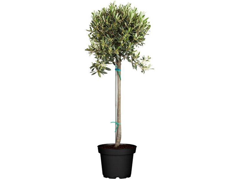 olivenbaum stamm topf ca 24 cm olea kaufen bei obi. Black Bedroom Furniture Sets. Home Design Ideas