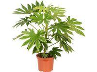 zimmeraralie variegata topf ca 21 cm fatsia japonica. Black Bedroom Furniture Sets. Home Design Ideas